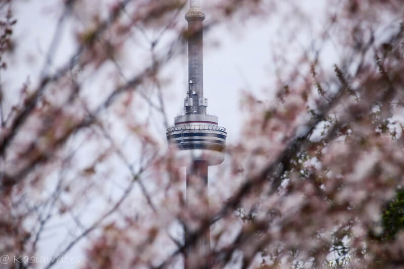 cherry blossom with CN tower in the background