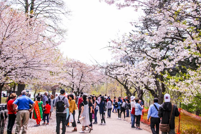 people walking among blooming cherry blossoms