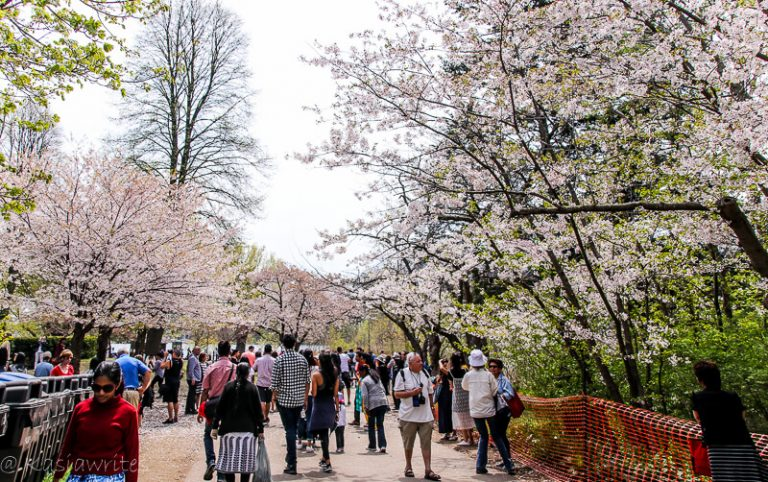 Where to find cherry blossoms in Toronto | kasiawrites