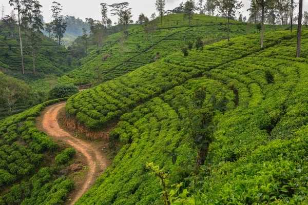 tea hills in Sri Lanka
