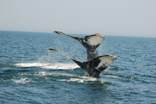 whale tales sticking out of the water